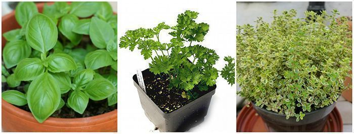 basil, parsley and thyme herbs can be grown at home