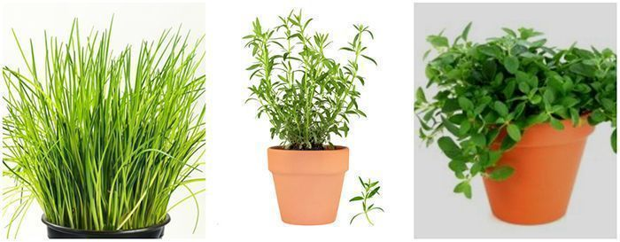 chives, tarragon, oregano - edible herbs to grow at home