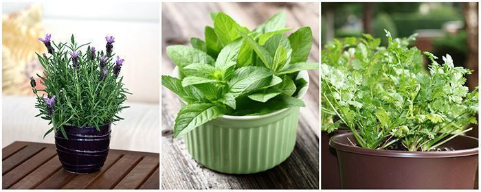 lavender, peppermint and coriander - edible herbs