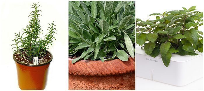 growing edible herbs - rosemary, sage, lemon balm